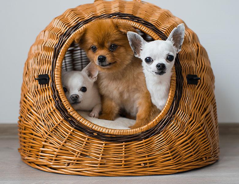 Les races des chiens