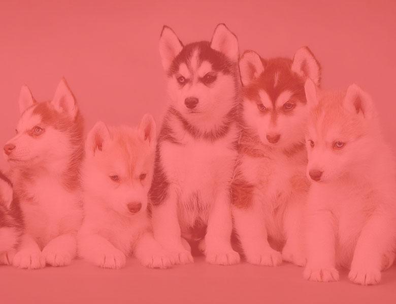 Les-races-des-chiens